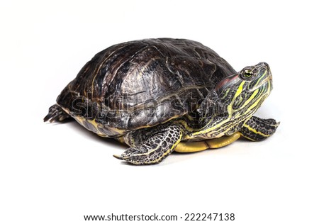 Red-eared slider isolated on a white background. - stock photo