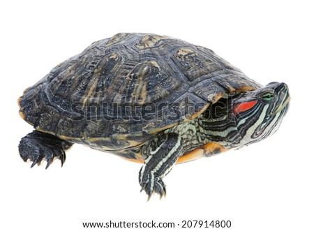 How big do red eared slider turtles get