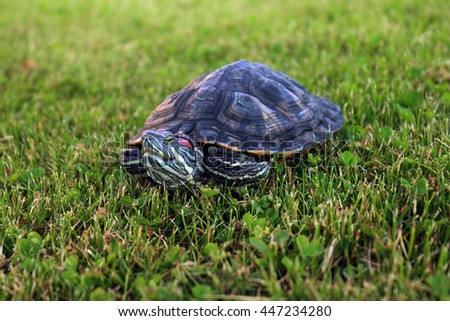 Red eared slider - Trachemys scripta elegans. Turtle on grass. Tortoise head portrait in nature enviroment