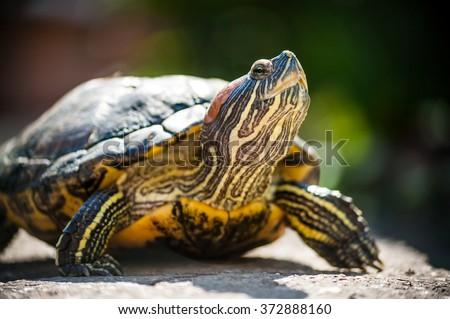 Red eared slider turtle (Trachemys scripta elegans) resting in the summer sunlight  - stock photo
