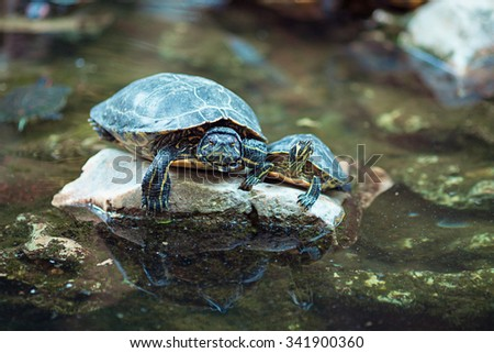 Red eared slider turtles on a rock - stock photo