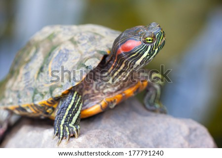 Red Eared Terrapin - Trachemys scripta elegans - stock photo
