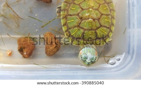 Red eared water turtle - stock photo