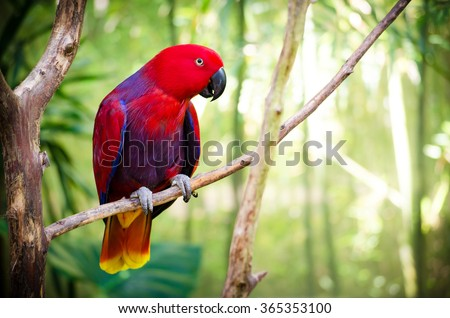 Red Eclectus Parrot - stock photo