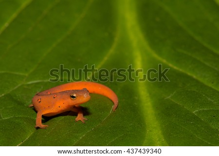 Red Eft - stock photo