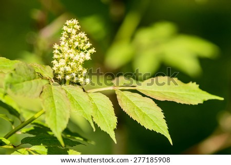 Red elderberry (Sambucus racemosa) in bloom with white flowers and green leaves. It is also known as red-berried elderberry. Natural light. - stock photo