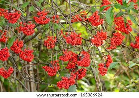 Red Elderberry (Sambucus racemosa) the branches - stock photo