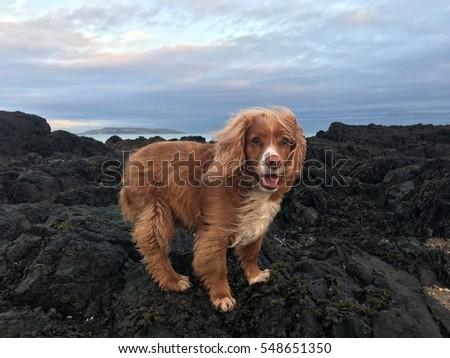 Red English cocker spaniel dog at the beach in winter
