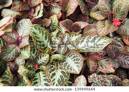 Red Episcia or Flame violet