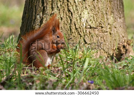 Red Eurasian squirrel on the grass - stock photo