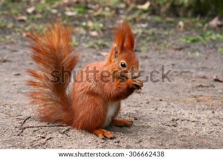 Red Eurasian squirrel sitting on the road - stock photo