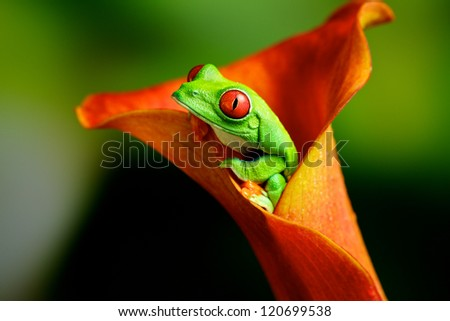 Red eye tree frog in an exotic plant - stock photo