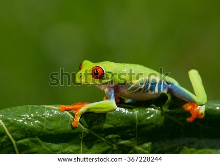 Red eye tree frog walking on the banana leaf with clean green background, Czech republic