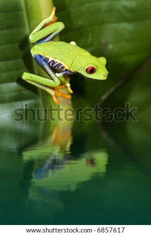 Red eye tree frog with reflection