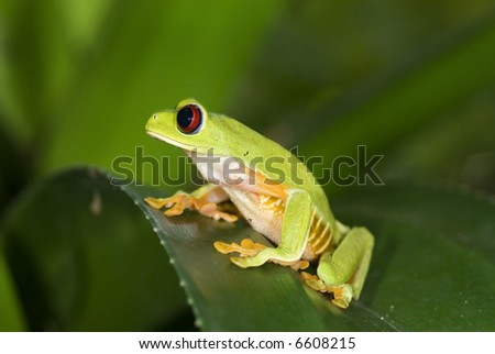 Red Eye Trre Frog, Costa Rica - stock photo
