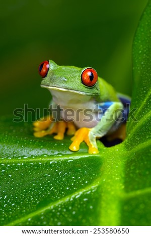Red-Eyed Amazon Tree Frog on Large Palm Leaf/Red-Eyed Amazon Tree Frog/Red-Eyed Amazon Tree Frog (Agalychnis Callidryas) - stock photo