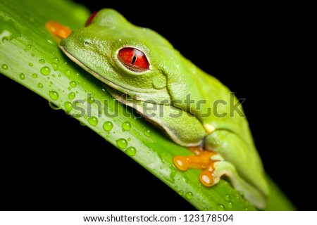 Red Eyed Green Tree Frog - stock photo