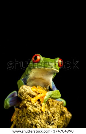 Red-eyed Green Tree Frog (Agalychnis callidryas) sitting on a piece of wood staring forward - stock photo