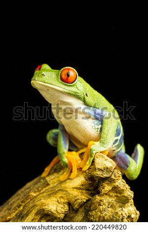 Red-eyed Green Tree Frog (Agalychnis callidryas) sitting on a piece of wood staring up - stock photo