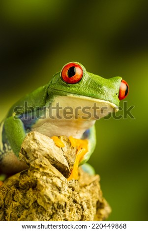 Red-eyed Green Tree Frog (Agalychnis callidryas) sitting on a piece of wood staring up