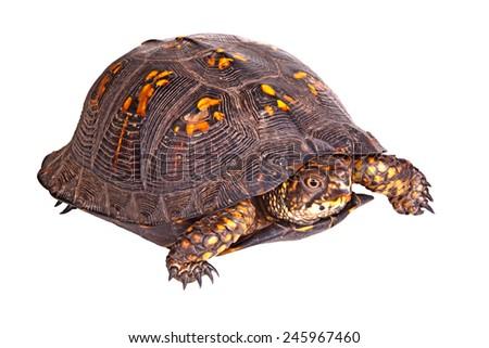 Red-eyed male of the eastern box turtle (Terrapene carolina carolina) isolated against a white background - stock photo