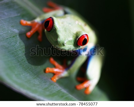 red eyed tree frog 66