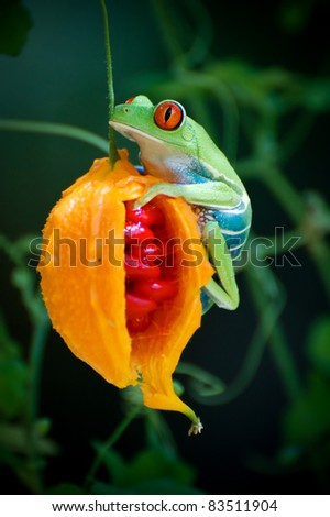 Red Eyed Tree Frog - stock photo