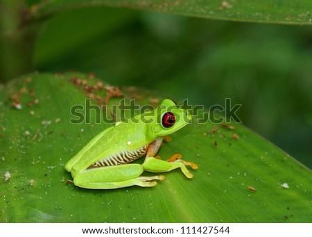 Red-eyed Tree Frog, Agalychnis callidryas - stock photo