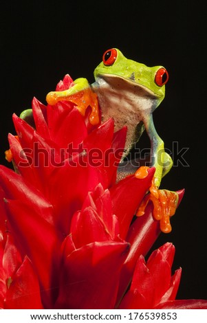 Red-eyed Tree Frog, Agalychnis callidryas, climbing on colorful plants. Controlled Situation, Central Pennsylvania, United States