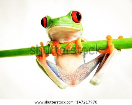 red-eyed tree frog 160, Agalychnis callidryas close-up, is hanging on a green bar - stock photo