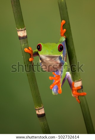 Red eyed tree frog (Agalychnis Callidryas) looking funny while hanging between 2 snakegrass - stock photo