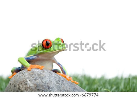red-eyed tree frog (Agalychnis callidryas) on a rock with grass, closeup isolated on white