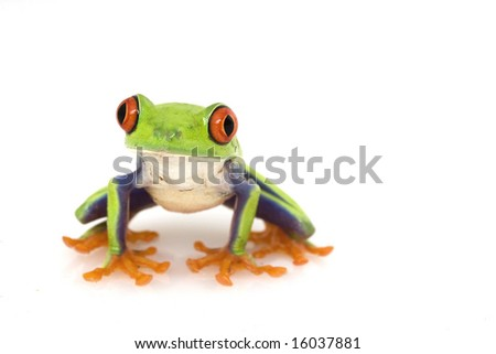 Red-eyed Tree Frog (Agalychnis callidryas) on white background. - stock photo
