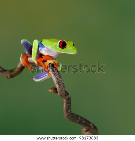 Red-eyed Tree Frog (Agalychnis Callidryas) sitting on a branch