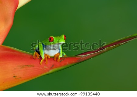 Red-eyed Tree Frog (Agalychnis Callidryas) sitting on a Heliconia Carabea Richmond Red - stock photo