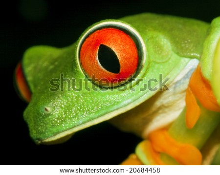 Red-eyed tree frog(Agalychnis callidryas) sitting on the branch-top down view - stock photo