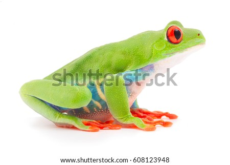 Red eyed tree frog an animal with vibrant eyes. Agalychnis callydrias lives in the rain forest of Costa Rica and Panama. Amphibian isolated on white background.