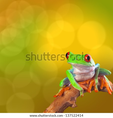 Red eyed tree frog from Costa Rica rain forest. Beautiful tropical treefrog on a bright background with copy space. Exotic rainforest animal with cute and funny looks. Agalychnis callidryas - stock photo
