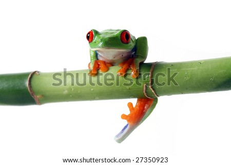 Red-Eyed Tree Frog hanging from Bamboo and isolated on a white background.