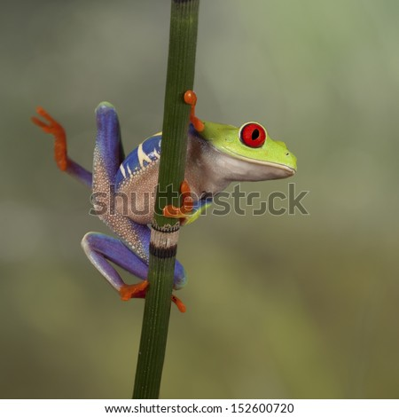 Red Eyed Tree Frog looking around - stock photo