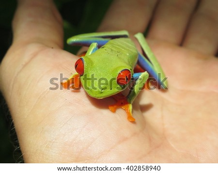 Red eyed tree frog of Costa Rica on the hand.  It's an exotic tropical frog from the jungle and rainforest of Central America (Costa Rica Nicaragua). Photo taken in Nicaragua 08/2014 - stock photo