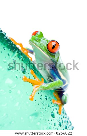 red-eyed tree frog on a water bottle with water droplets, closeup isolated on white