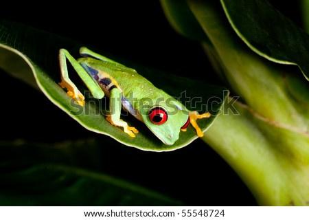 Red eyed tree frog on banana leaf - stock photo