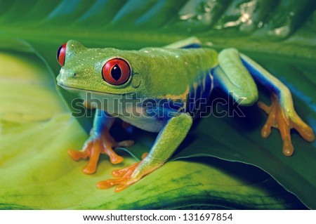 Red Eyed Tree Frog on leaves - stock photo