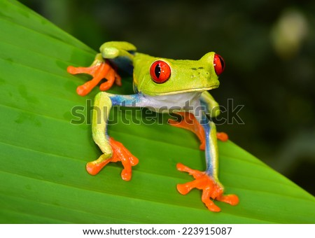 red eyed tree frog or Agalychnis callidryas native to tropical rainforests in panama and costa rica . also called Green Tree Frog by green color has striking red eyes, blue flanks and orange hands.