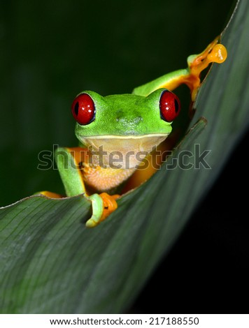 red eyed tree frog or gaudy leaf frog curiously looking climbing green leaf.Agalychnis callydrias exotic amphibian macro portrait treefrog greenfrog copyspace vibrant tropical jungle Costa Rica Panama - stock photo