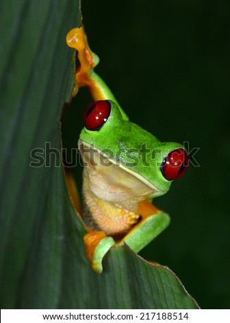 red eyed tree frog or gaudy leaf frog curiously looking climbing green tree.Agalychnis callydrias exotic amphibian macro portrait treefrog greenfrog copyspace vibrant tropical jungle Costa Rica Panama