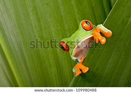 red eyed tree frog peeping curiously between green leafs in rainforest Costa Rica curious cute night animal tropical exotic amphibian - stock photo
