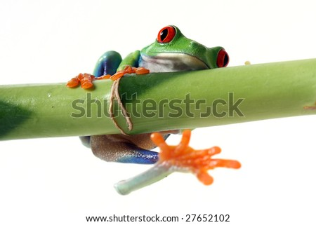 Red-Eyed Tree Frog slipping off Bamboo.