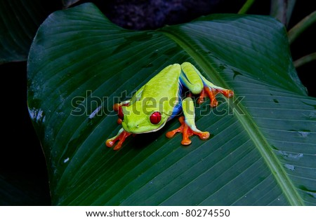 Red eyed tree frog stalks his prey in a Costa Rican  jungle. - stock photo